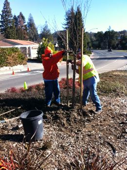 Tree Planting - El Cerro Median